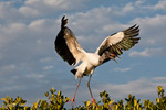 Wood Stork (Mycteria americana) in Flight, Landing on Red Mangrove Island, Florida.  Endangered Species (USESA).  Range = se United States, Central America, South America, and the Caribbean.