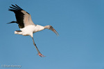 Wood Stork (Mycteria americana) in Flight, Landing, Florida.  Endangered Species (USESA).  Range = se United States, Central America, South America, and the Caribbean.