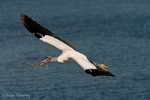 Wood Stork (Mycteria americana) in Flight over water, carrying nesting material, southwest Florida.  Endangered Species (USESA).  Range = se United States, Central America, South America, and the Caribbean.