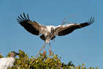 Wood Stork (Mycteria americana) in Flight, landing with large stick (nesting material), Florida.  Endangered Species (USESA).  Breeds in the se United States (FL, GA, NC, & SC), the Caribbean, Central America, & South America.