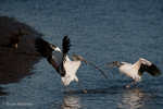 Two Wood Storks (Mycteria americana) squabbling over a stick (nesting material), Florida.  Endangered Species (USESA). Breeds in the se United States (FL, GA, NC, & SC), the Caribbean, Central America, & South America.