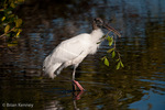 Wood Stork (Mycteria americana) Gathering Nesting Material (Red Mangrove branch), Florida.  Endangered Species (USESA).  Breeds in the se United States (FL, GA, NC, & SC), the Caribbean, Central America, & South America.