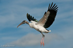 Wood Stork (Mycteria americana) in Flight, Florida.  Endangered Species (USESA). Breeds in the se United States (FL, GA, NC, & SC), the Caribbean, Central America, & South America.