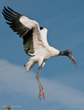"""Wood Stork (Mycteria americana) in Flight, Florida.  Endangered Species (USESA). Breeds in the se United States (FL, GA, NC, & SC), the Caribbean, Central America, & South America.  D3x horizontal cropped to a vertical (8"""" x 10.5"""" @ 384dpi) without resizing.  Original, uncropped image is also included on this website."""