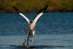 Wood Stork (Mycteria americana) Gathering Nesting Material, Florida.  Endangered Species (USESA).  Breeds in the se United States (FL, GA, NC, & SC), the Caribbean, Central America, & South America.