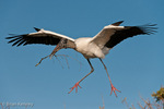 Wood Stork (Mycteria americana) in Flight, with Nesting Material, Florida.  The Alula (thumb) feathers act like the flaps on an airplane's wing, improving control and maneuverability at slower speeds when landing.  Note Nictitating Membrane covering and protecting eye.  Endangered Species (USESA). Breeds in the se United States (FL, GA, NC, & SC), the Caribbean, Central America, & South America.