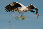 Wood Stork (Mycteria americana) in Flight, carrying nesting material, Florida.  Endangered Species (USESA).  Breeds in the se United States (FL, GA, NC, & SC), the Caribbean, Central America, & South America.
