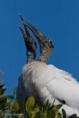 """Mated Pair of Wood Storks (Mycteria americana) engaged in a Courtship Ritual called """"Bill Clacking"""" where they strike their bills together loudly and repeatedly, Florida.  The reproductive cycle is triggered by decreasing water levels that concentrate fish prey.  Endangered Species (USESA).  Range = se United States, the Caribbean, Central America, & South America."""