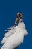 Wood Stork (Mycteria americana) Preening, Florida.  Endangered Species (USESA). Breeds in the se United States (FL, GA, NC, & SC), the Caribbean, Central America, & South America.