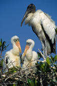 Wood Stork (Mycteria americana) adult and two chicks in nest on Red Mangrove Island, Florida.  Endangered Species (USESA).  Range = se United States, Central America, South America, and the Caribbean.
