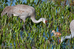 Florida Sandhill Cranes (Grus canadensis pratensis) Foraging in Wetland, Florida.  The chick is eating a dragonfly.  Subspecies range = FL & GA.  Species range = North America & extreme ne Siberia.  Threatened (FL).  CITES II.