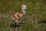 Florida Sandhill Crane (Grus canadensis pratensis) Chick Walking, Florida.  Sandhill Cranes are Precocial, with the chicks following their parents away from the nest within about four days of hatching. They will remain with the adults for up to ten months.  Subspecies range = FL & GA.  Species range = North America & extreme ne Siberia.  Threatened (FL).  CITES II.