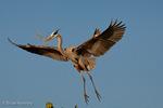 Great Blue Heron (Ardea h. herodias) in Breeding Plumage, in Flight, with Nesting Material, Florida.