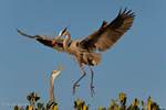 Great Blue Heron (Ardea h. herodias) in Flight, landing with Nesting Material at a Rookery on a Red Mangrove island, greeted by mate, Florida.