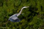 Great Blue Heron (Ardea h. herodias) in Flight, with Nesting Material, Florida.