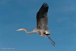 Great Blue Heron (Ardea h. herodias) in Flight, Florida.