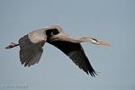 Great Blue Heron (Ardea h. herodias) in Breeding Plumage, in Flight, Florida.