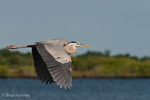 Great Blue Heron (Ardea h. herodias) in Flight, southwest Florida.