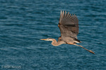 Great Blue Heron (Ardea h. herodias) in Flight, Florida.