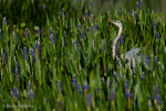 Great Blue Heron (Ardea h. herodias) among pickerelweed in wetland, Florida.