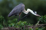 Great Blue Heron (Ardea h. herodias) Preening / Scratching neck with foot, Florida.