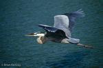 Great Blue Heron (Ardea h. herodias) in Flight, southwest Florida