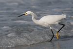 Snowy Egret (Egretta thula) in winter (non-breeding) plumage, hunting for fish in the surf, Florida. Protected by the Migratory Bird Treaty Act.