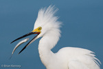 Snowy Egret (Egretta thula) in winter, non-breeding plumage eating a green-back, Florida.  Snowy Egrets stalk small fish in shallow water, running or shuffling their feet to flush prey into view.  Protected by the Migratory Bird Treaty Act.