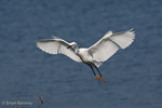 Snowy Egret (Egretta thula) in Flight in non-peak Breeding Plumage, Florida.  The Alula (thumb) feathers act like the flaps on an airplane's wing, improving control and maneuverability at slower speeds when landing.  Range = North, South, & Central America.  Protected by the Migratory Bird Treaty Act.