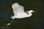 Snowy Egret (Egretta thula) Flying low over the water, Florida. Protected by the Migratory Bird Treaty Act.