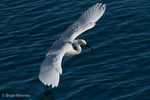 Snowy Egret (Egretta thula) catching a fish while in flight, Florida. The Alula (thumb) feathers act like the flaps on an airplane's wing, improving control and maneuverability at slower speeds. Protected by the Migratory Bird Treaty Act.