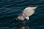 Snowy Egret (Egretta thula) attempting to catch a fish while in flight, Florida. Protected by the Migratory Bird Treaty Act.