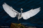 Snowy Egret (Egretta thula) with wings spread wide, Florida.   The Alula (thumb) feathers act like the flaps on an airplane's wing, improving control and maneuverability at slower speeds when landing.   Protected by the Migratory Bird Treaty Act.