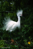 Snowy Egret (Egretta thula) in full Breeding Plumage, Displaying to attract a mate, Florida. Protected by the Migratory Bird Treaty Act.