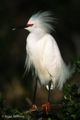 Snowy Egret (Egretta thula) in full Breeding Plumage, Florida.  Protected by the Migratory Bird Treaty Act.