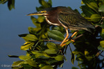 Green Heron / Green-Backed Heron (Butorides v. virescens / formerly: B. striatus) on Red Mangrove, Florida.  Subspecies breeding range = United States & s Canada east of the Rocky Mountains.