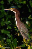 Green Heron / Green-Backed Heron (Butorides v. virescens / formerly: B. striatus) in alert pose, with crest raised and neck stretched out, on Red Mangrove, Florida.  Subspecies breeding range = United States & s Canada east of the Rocky Mountains.