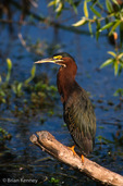 Green Heron / Green-Backed Heron (Butorides v. virescens / formerly: B. striatus) Florida.  Subspecies breeding range = United States & s Canada east of the Rocky Mountains.