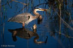 Great Blue Heron (Ardea h. herodias) with Walking Catfish (Clarias batrachus) prey, Anhinga Trail, Everglades National Park, Florida.