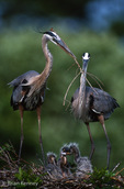 Great Blue Herons (Ardea h. herodias) Exchanging Nesting Material, Florida.  The Male continues to bring sticks to the Female on the nest throughout the nesting season, even after the chicks are born.