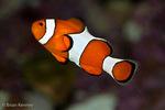Clown Anemone Fish (Amphiprion ocellaris) Indo-Pacific Oceans