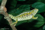 Carpet Chameleon / Jewel Chameleon / Jeweled Chameleon (Furcifer lateralis / Syn: Chamaeleo lateralis) Endemic to Madagascar.  CITES II. This species is capable of rapid color changes; Male in bright, threat colors.  2/2