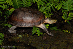 Malaysian Box Turtle / Asian Box Turtle / Southeast Asian Box Turtle / Amboina Box Turtle (Cuora amboinensis) Bangladesh, Cambodia, India, Indonesia, Malaysia, Myanmar, Philippines, Thailand, & Viet Nam.  Vulnerable (IUCN).  CITES II.