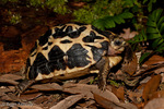 Young Malagasy Spider Tortoise / Common Spider Tortoise (Pyxis a. arachnoides) Endemic to Madagascar.  Critically Endangered (IUCN). CITES I.