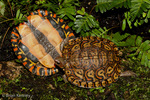 Ornate Wood Turtle / Central American Wood Turtle / Painted Wood Turtle (Rhinoclemmys pulcherrima manni) One of the most colorful turtle species in the world.  Plastron & Carapace Views.  Subspecies Range = s Nicaragua & nw Costa Rica (Central America).  Species Range = Mexico to Costa Rica.
