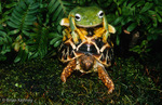 Indian Star Tortoise (Geochelone elegans) and Flying Frog (Rhacophorus sp.) India.  Turtle on the move.