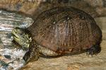 Desert Box Turtle / Western Box Turtle (Terrapene ornata luteola) Female.  United States (AZ, NM, & TX) and Mexico (Chihuahua, Coahuila, & Sonora).  CITES II.