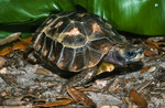 Home's Hinge-Back Tortoise / Home's Hinged-Backed Tortoise / Home's Hinged Tortoise (Kinixys homeana) Benin, Cameroon, Côte d'Ivoire, Democratic Republic of the Congo, Equatorial Guinea, Gabon, Ghana, Liberia, Nigeria, & Togo (Africa).  Vulnerable (IUCN).  CITES II.