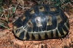 South African Bowsprit Tortoise / Angulate Tortoise (Chersina angulata) Republic of South Africa & Namibia (Africa).  CITES II.