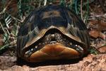 South African Bowsprit Tortoise / Angulate Tortoise (Chersina angulata) Republic of South Africa & Namibia (Africa).  CITES II.